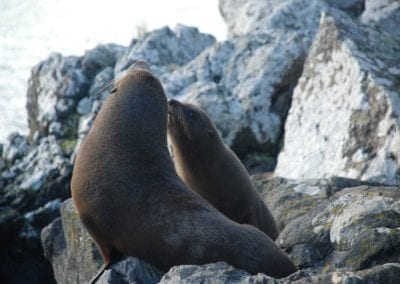 NZ Fur Seal and pup