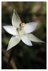 T_longifolia or sun orchid